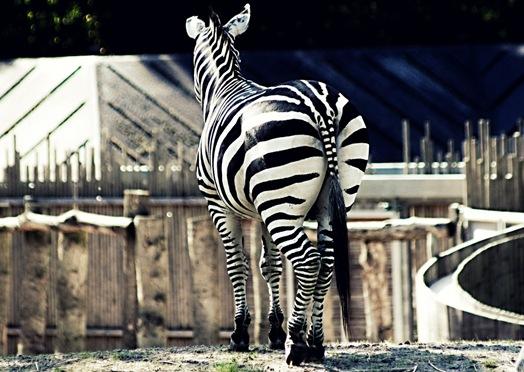 zebra by maleneanna