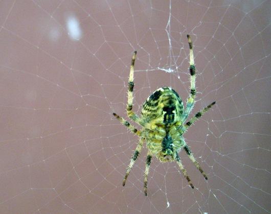 spider by sisterbonde