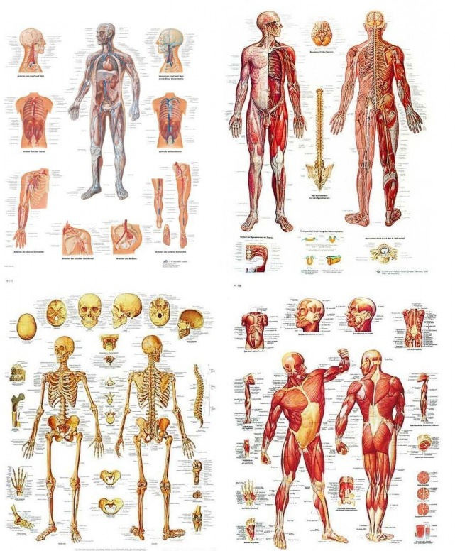 plakat kroppens muskler