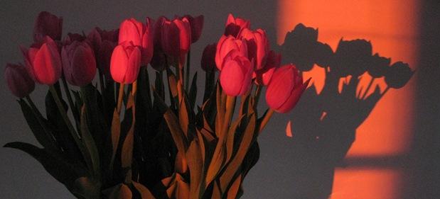 tulip by sisterbonde